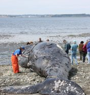 It didn't take long to find out what killed this whale - and other whales before it. We are the culprits.
